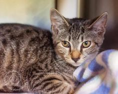 Sampson is a very cute 4 month old male kitten in need of a loving home. He's just a bit on the shy side, so he'll need a patient person to help him settle into his new life.To adopt, visit the shelter. Hours are: Tuesday, Wednesday and Friday:...