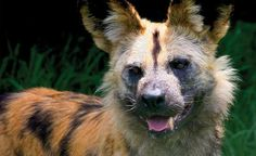 A close-up view of our African Wild Dog at Melbourne Zoo