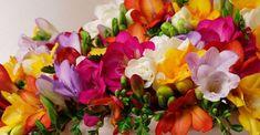 Las Fresias nos brinda una amplia gama de colores y una fragancia seductora que hacen de ésta, una f
