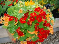Nasturtiums grow well in almost any type of well-draining soil. They can tolerate dry conditions and low fertility without damage, but best flowering occurs in slightly sandy but moist soil. Avoid planting Nasturtiums in areas with rich soil that's heavily amended with organic matter, because they...