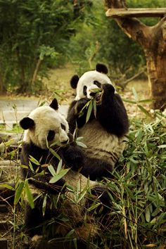 Chengdu, China. The breeding base here is absolutely amazing. Care for the pandas.