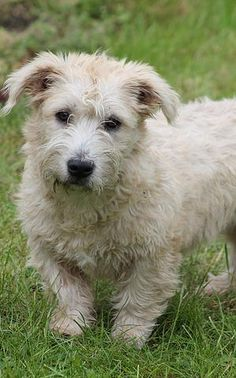 Glen of Imaal Terrier Glen Of Imaal Terrier, Fox Terrier, Terriers, Australian Terrier, Getting A Puppy, English Springer Spaniel, American Staffordshire, Cute Creatures, Adorable Dogs