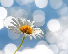 Summer Angel by Kimber Leigh / Bokeh Photography, Out Of Focus, Daisy, Angel, Flowers, Plants, Summer, Summer Time, Margarita Flower