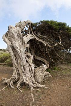 Tree at El Sabinar, El Hierro, Canary Islands