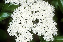 Gardeners living in zone 4 will want to choose cold hardy viburnums. Temperatures in zone 4 can dip pretty far below zero in winter. Fortunately, you?ll find that there are more than a few viburnum varieties for zone Learn more in this article. Garden Shrubs, Garden Plants, Landscaping Near Me, Gardening Zones, Seeds For Sale, Garden Borders, Aquatic Plants, Medicinal Plants, Gardening For Beginners