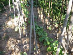 Ortolano a 30 anni: Un mese di fagioli