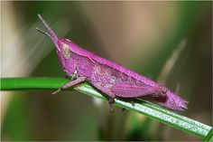 Orthoptera: grasshoppers and allied insects Weird Insects, Flying Insects, Bugs And Insects, Mantis Religiosa, Cool Bugs, A Bug's Life, Beautiful Bugs, Praying Mantis, Insect Art
