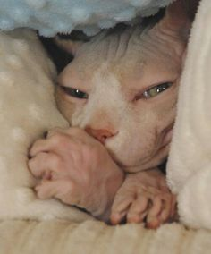 Parasites that bring about mange, and fungal issues like ringworm, are also a common cause of alopecia. Another less common factor is heredity. Chat Rex, Cute Hairless Cat, Cute Cats, Funny Cats, Baby Animals, Cute Animals, Sphinx Cat, Amor Animal, Rex Cat