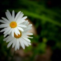 One of my favorite flowers - the daisy.