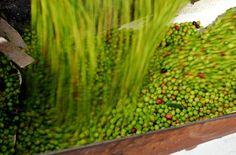 Las piedras Jahrgang 2015 - Die #Ernte ist eingeholt und unsere Olivensorten #Arbequina , #Frantoio und #Picual lagern in der #laspiedras Ölmühle. Nach dem Wiegen und Waschen beginnt ohne Verzögerung die schonende Herstellung des besten #Olivenöls der #Südhalbkugel - traditionell & #kaltgepresst