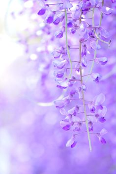 Wisteria, Japan via αcafe | My Sony Club | ソニー #藤 #wisteria