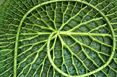 Loop by maldoit (underside of a Water Lilly). Pattern in nature, amazing All Nature, Amazing Nature, Science Nature, Natural Forms, Natural Wonders, Spirals In Nature, Backgrounds Wallpapers, In Natura, Fibonacci Spiral