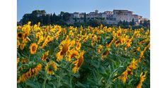 Sunflowers in Umbria