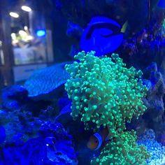 【petskojima_honmoku】さんのInstagramをピンしています。 《アクアコーナーです(^_-) 海水レイアウト水槽では某映画の名コンビが仲良く泳いでいます! 難しいイメージの海水水槽ですが、専門スタッフが丁寧にレクチャー致します! #ベイタウン横浜本牧 #アクアリウム #ディズニー #インテリア #海水魚 #カクレクマノミ #ナンヨウハギ #ニモ #ドリー #ファインディングドリー #findingnemo #disney #pixar #コジマ》