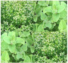 How To Grow Marjoram   Herb Gardening Guide