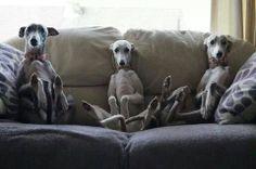 Greyhound love <3
