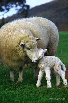 Mama with baby lamb