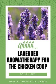Want to know if you can use lavender aromatherapy for chickens? Definitely! If you want laid-back, healthy hens, bug control in the coop, and a pretty run, you can't go wrong with lavender. Here's why >> Backyard Coop, Backyard Chicken Coops, Diy Chicken Coop, Raising Meat Chickens, Raising Backyard Chickens, Bug Control, Important Facts, Flower Boxes, Growing Plants