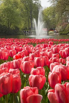 Keukenhof, the most beautiful spring garden in the world!!!