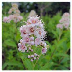 #flower #wildflower #newyorkstate #adriondacks