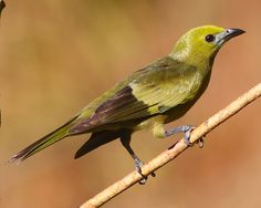 Palm Tanager - Nicaragua S. to Bolivia, Paraguay  S. Brazil,  Trinidad and Tobago