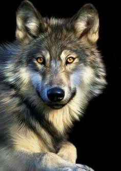 Jacob Art Print by Julie L Hoddinott : Lobos Wolf Photos, Wolf Pictures, Animal Pictures, Wolf Love, Beautiful Creatures, Animals Beautiful, Cute Animals, Wolf Spirit, My Spirit Animal