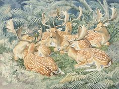 Charles F. Tunnicliffe, Fallow deer