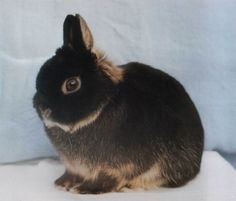 Netherland Dwarf Rabbit <3