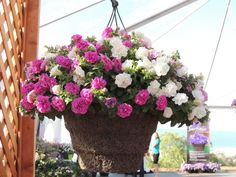 Surfinia Summer Double petunia hanging basket