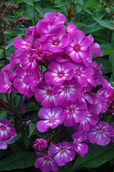 Grape Lollipop Phlox. I love that they give off such concentrated color.