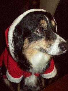 Australian shepherd! #christmasdog #socute this looks almost just like Dixie!