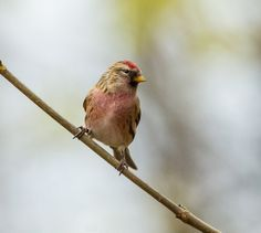 Lesser Redpoll (Carduelis cabaret) | Flickr - Photo Sharing!