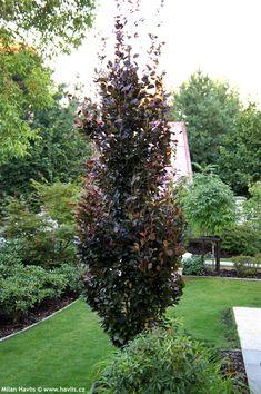 Dawyck Purple Beech--maybe for pots--or dwarf figs? Garden Shrubs, Garden Trees, Lawn And Garden, Trees To Plant, Garden Bed, Dwarf Trees For Landscaping, Landscaping Along Fence, Backyard Landscaping, Tall Skinny Trees