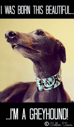 My beautiful greyhound Bella, she loves to pose for pictures! Collar by me: www.collartown.etsy.com