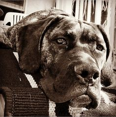 South African Boerboel Mastiff - Our Zoe at 6 months old.