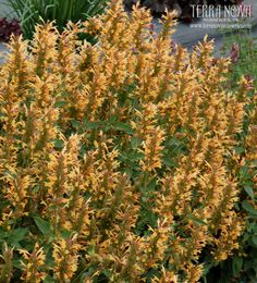 Agastache 'Kudos Gold'  - We are so pleased with this great new color for the Kudos series - gold flowers in large compact spikes. The plants start blooming in late May and continue through the season. If they start looking a little tired, just shear them back and they will keep on blooming. Great form and longevity!
