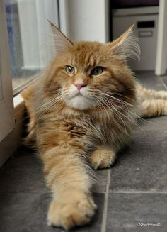 Yes, I am the king here! http://www.mainecoonguide.com/characteristics/