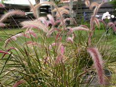 Pennisetum setaceum pour le jardin devant le sequoia