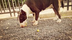 Eating Indian Jujubes. #BullTerrier #Bully #Dog #Cute #Naughty