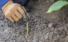 Rosen mit Steckholz vermehren Plants, Gardening, Propagation, Tricks, Cottage, Vegetable Garden, Gardens, Climbing Roses, Yard Maintenance