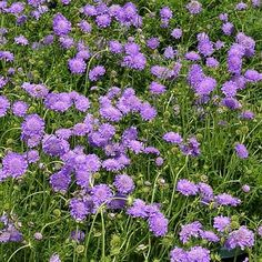 Scabiosa columbaria 'Butterfly Blue' BUTTERFLY BLUE PINCUSHION FLOWER from Greenleaf Nursery