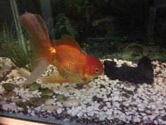 Mi goldfish después de más de 1 año.