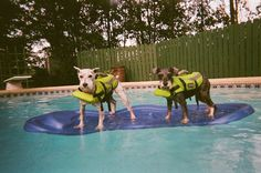 Schnauzers in the swimming pool!!! (Water Safety!)
