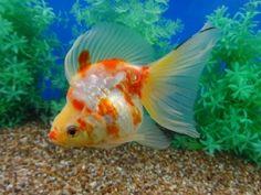 Lot# 9578 Red & White (metallic) Broad Tail Ryukin (5.5 inches) goldfishnet.com