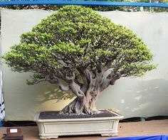 The Grand Indonesian Bonsai and Suiseki Exhibition