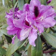 Rododendron w pełnej krasie. Szukacie nawozu lub pięknej donicy? Zapraszam do sprawdzenia asortymentu sklepu @przydomu.pl #ogrodnik #ogrodnictwo #kwiaty #rododendron #dzialkowiec #dzialka  #photogarden #photo #gardening #garden #rośliny #wiosna #wiosna2017 #lato