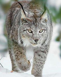 Lince del Canadá (Lynx canadensis). Es un mamífero carnívoro de la familia Felidae. Habita en la taiga de Canadá y Alaska, aunque también se encuentra en los bosques de Idaho, Montana y Washington y de forma más rara en Utah, Minnesota y Nueva Inglaterra.