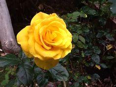 #flower #rose #yellow #nofilter