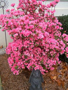 azalea in my front yard