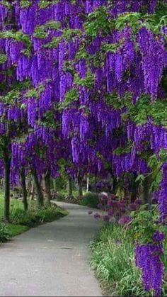Фотография Beautiful Nature Pictures, Amazing Nature, Beautiful Landscapes, Beautiful Gardens, Flowers Nature, Purple Flowers, Beautiful Flowers, Wisteria Tree, Unique Trees
